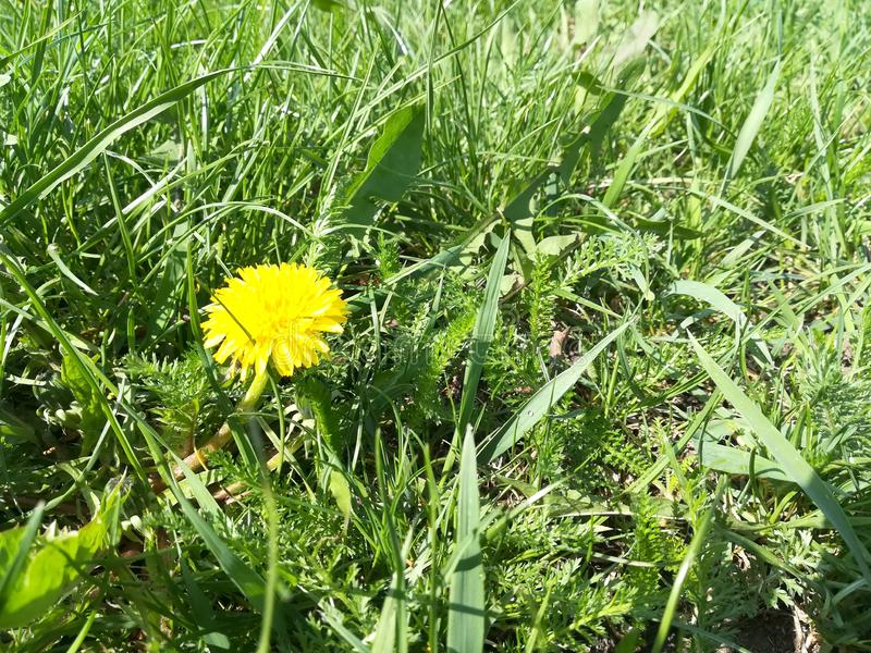 yellow dandelions. spring lawn. green grass. bloom flowers summer stock photography
