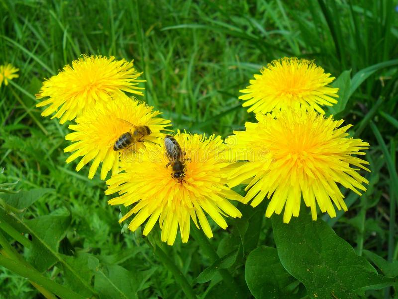 Yellow dandelions. On which the bees stock image