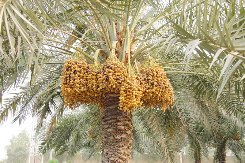 Download Yellow And Dark Brown Ripen Dates Along The Tree Stock Photo - Image: 15870978