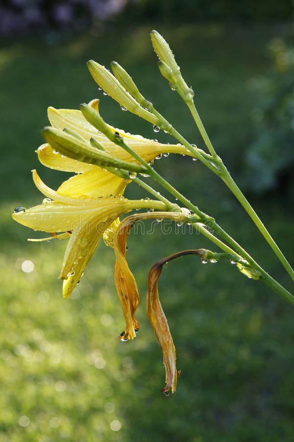 Yellow day-lilies in the garden after the rain, sun is shining. Again. Macro photography, daylight stock images