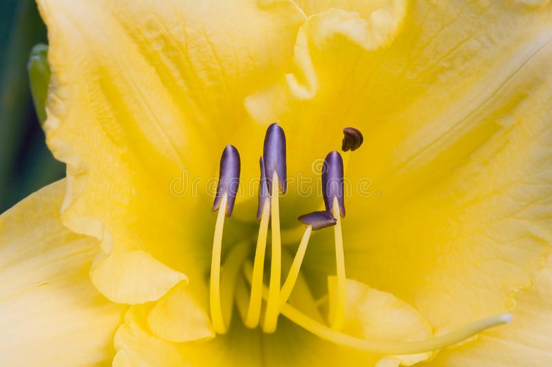 Yellow Day Lily royalty free stock photography