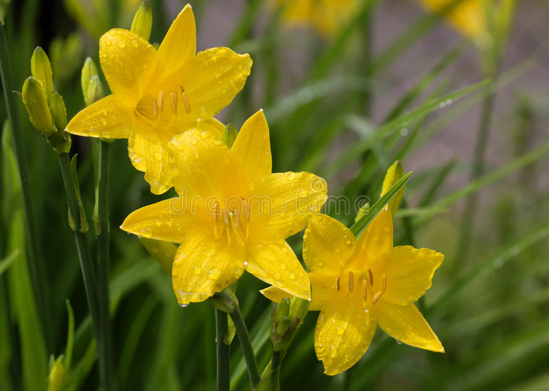 Yellow daylilies stock images