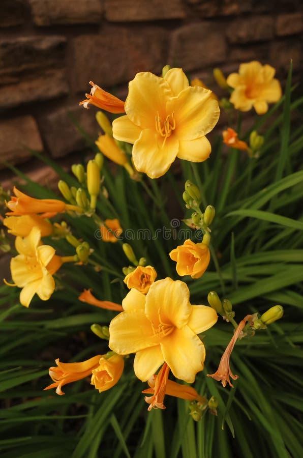 Yellow Daylilies stock photography