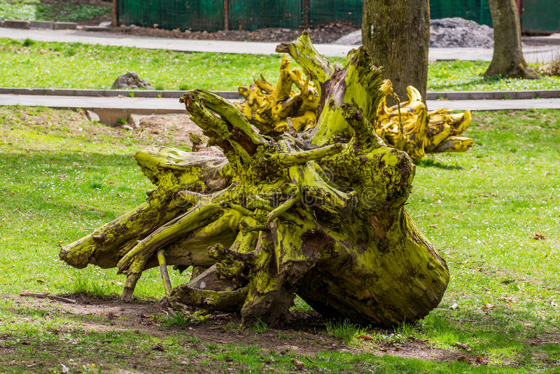 The yellow dead tree root royalty free stock image