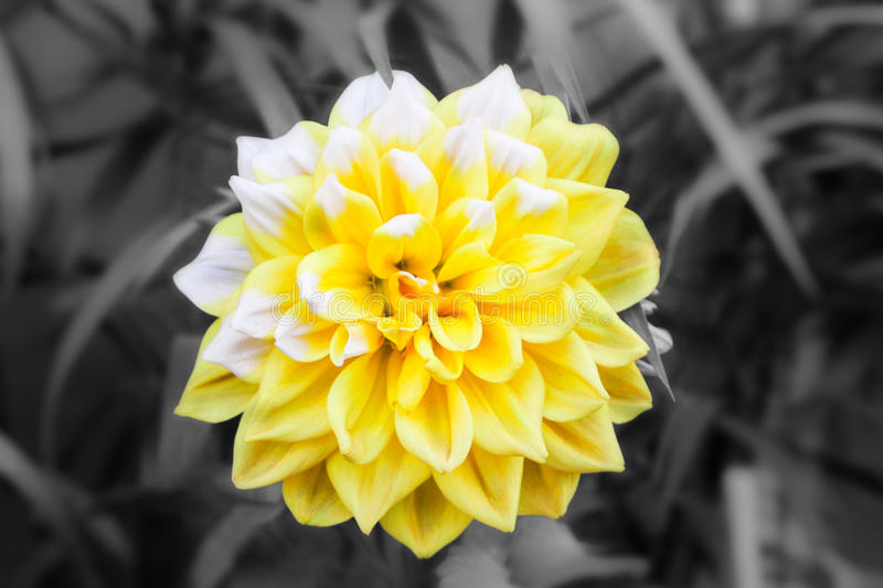 The yellow delilah looks beautiful. Yellow delilah is poping up with black and white background royalty free stock photos