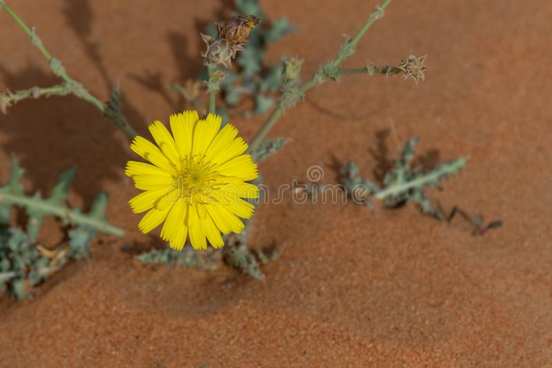 Yellow Desert Flower in Bloom in the United Arab Emirates. With a sandy background in the late afternoon sun royalty free stock photography