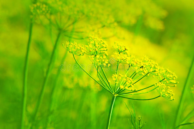 Yellow dill. Dill at maturity. Nice background. Shallow DOF stock images