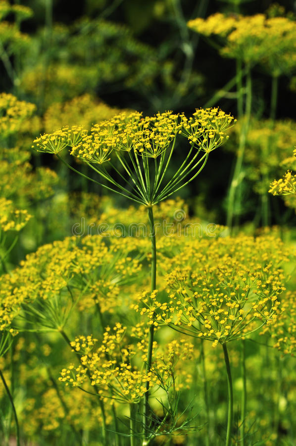 Free Yellow Dill Royalty Free Stock Image - 15575426