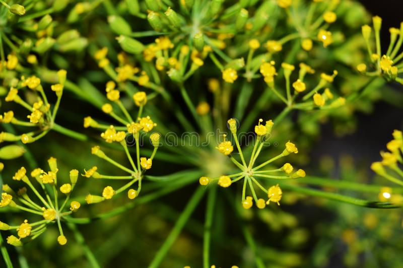 Yellow dill flowers. Macro photo of fennel. Green background. stock images