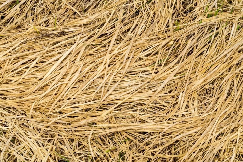 Yellow dirty dry straw background. stock images