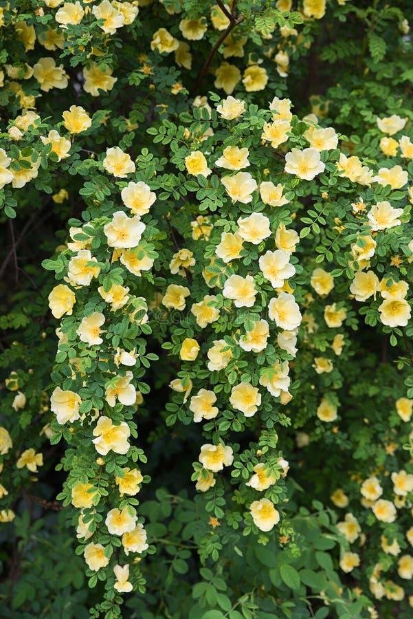 Yellow dog rose bush, full bloom royalty free stock photography