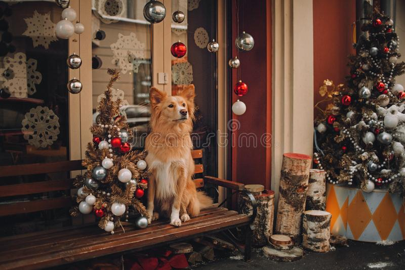 Yellow dog sitting near christmas trees on red background. In christmas decoration stock photo
