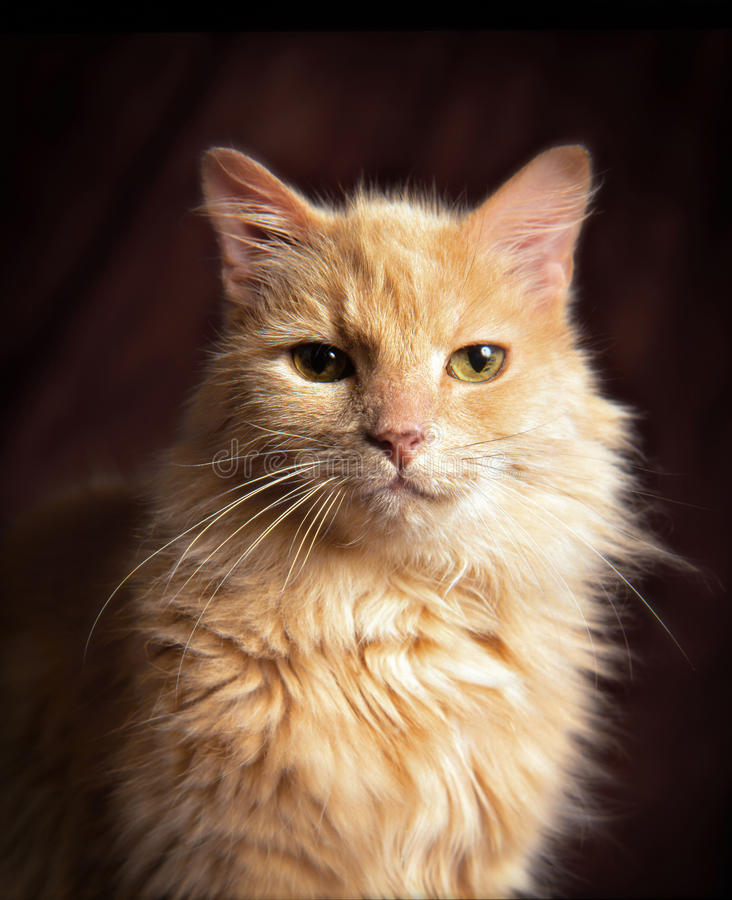 Yellow domestic cat. A domestic big yellow cat studio shot in front of a dark reddish background stock image
