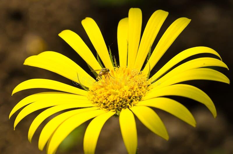 Yellow doronicum flower stock photo
