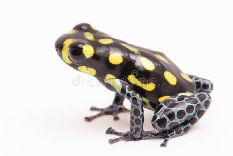 Yellow dotted poison dart or arrow frog, Ranitomeya vanzolinii royalty free stock photos