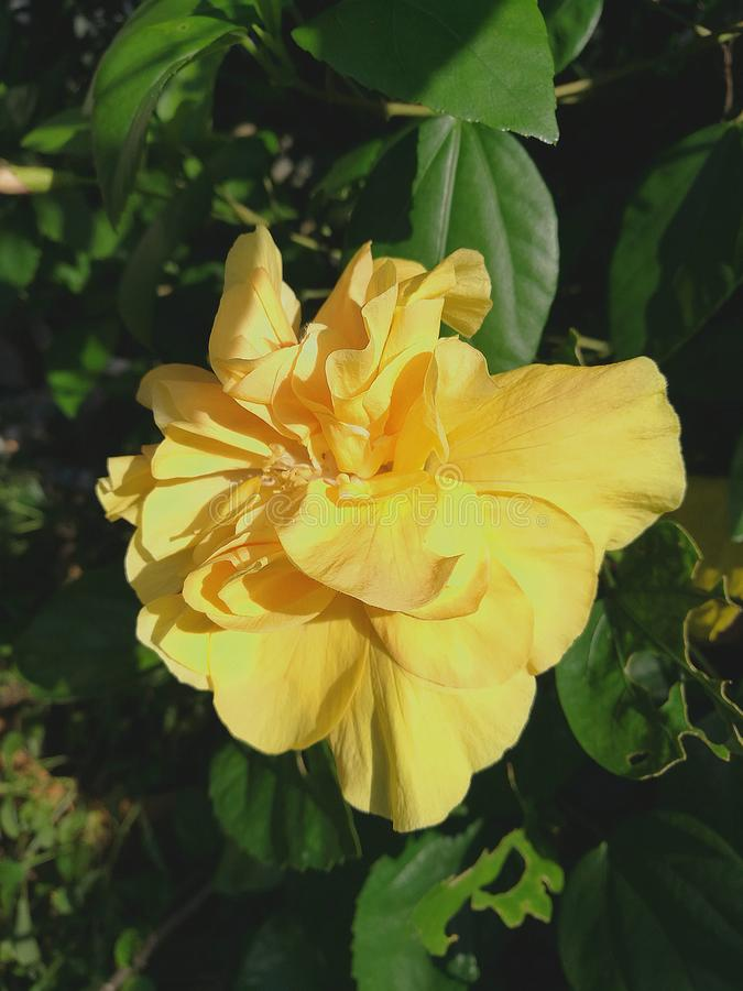 Yellow double hibiscus dlower closeup. Closeup of yellow double hibiscus flower blooming with natural sunlight on petals royalty free stock photo
