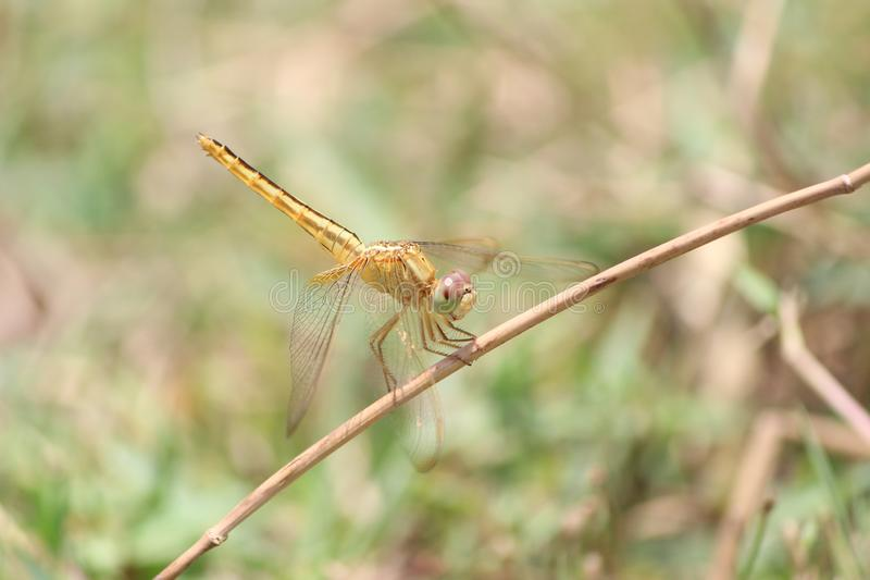 Yellow dragonfly on a dry stick stock image