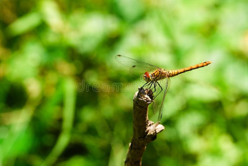 Yellow dragonfly on a dry twig royalty free stock photo