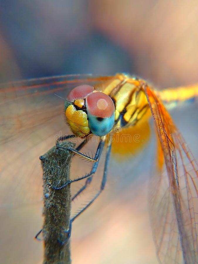 Yellow dragonfly image in detail macro royalty free stock images