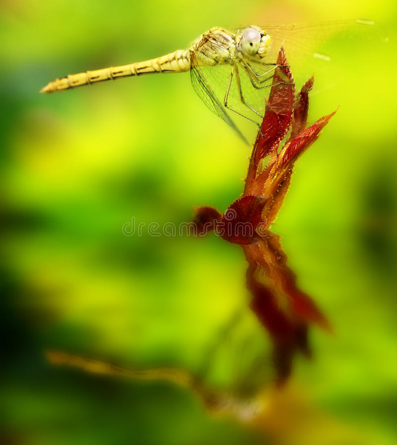 Yellow dragonfly on a leaf. Yellow dragonfly on a leaf reflected in the water stock image