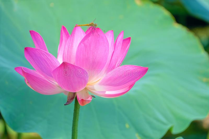 Yellow dragonfly and lotus flower stock photo