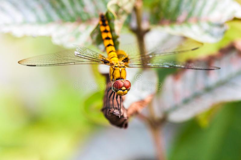 Yellow dragonfly with transparent wings. Resting on dry leaf of a plant, found in Kerala, India royalty free stock photos