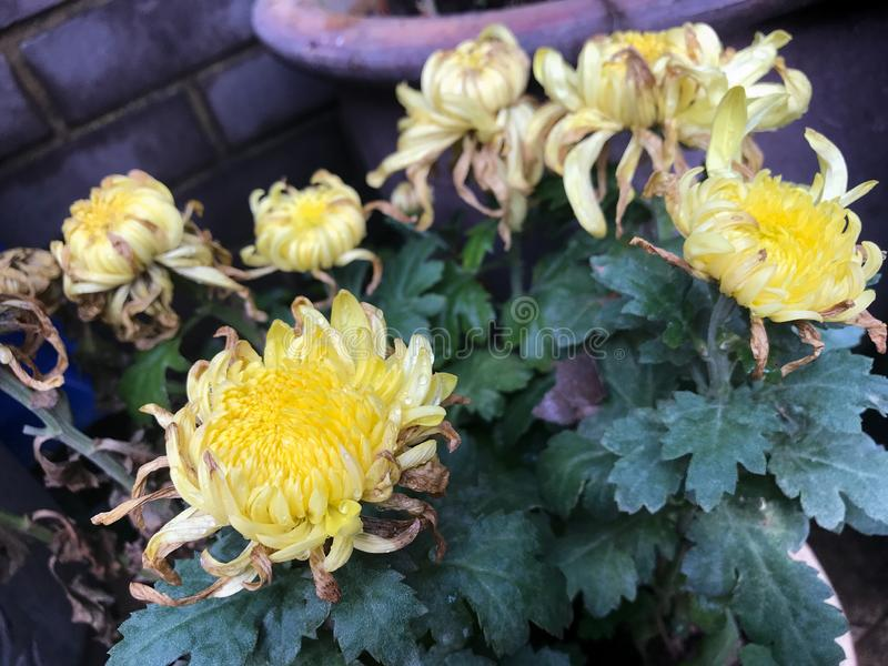 Yellow dry chrysanthemum gardening. Home Garden grown chrysanthemum yellow flowers. Bricks wall behind. Mom's garden stock photo