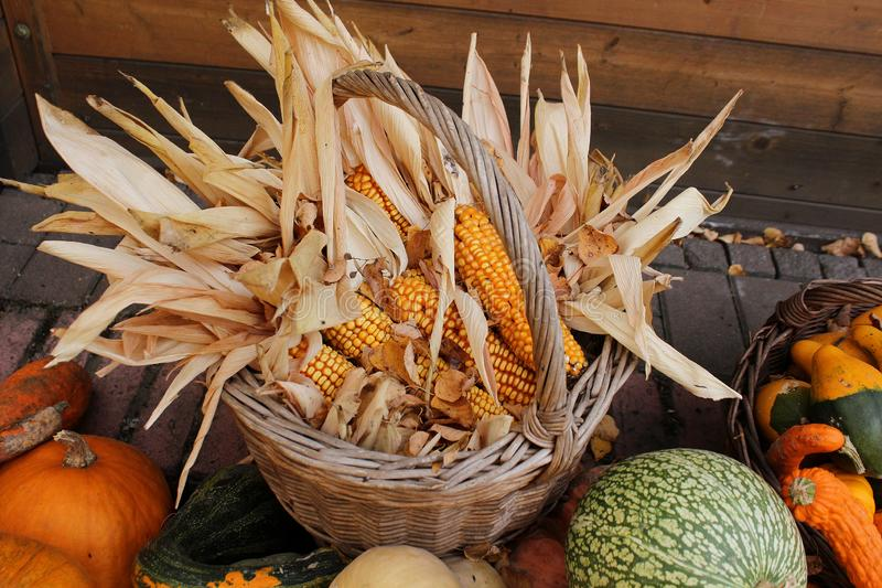Yellow dry corn and pumpkins in October - autumn in the garden stock photos
