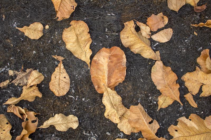 Yellow dry leaves on a black scorched grass close up. natural surface texture royalty free stock photography