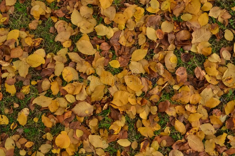 Yellow dry leaves fallen from the trees lie. On the green grass in the afternoon in the park royalty free stock photos