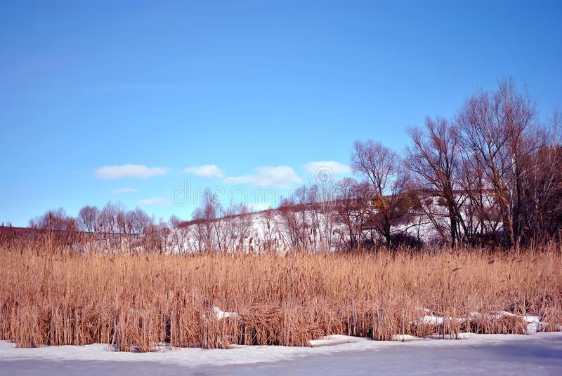 Yellow dry reeds on lake covered with ice bank with willow trees without leaves covered with snow, blue cloudy sky royalty free stock photography