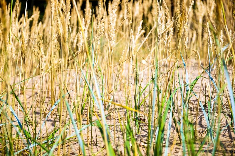 Yellow, dry reeds swaying in the wind. Warm summer time. stock images