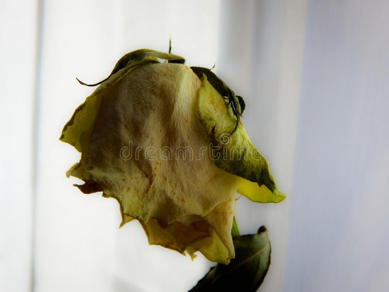 Yellow dry rose royalty free stock photography