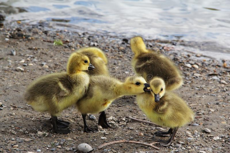 Yellow Duck Chicks. Yellow callow duck babies playing on a beach with each other stock image