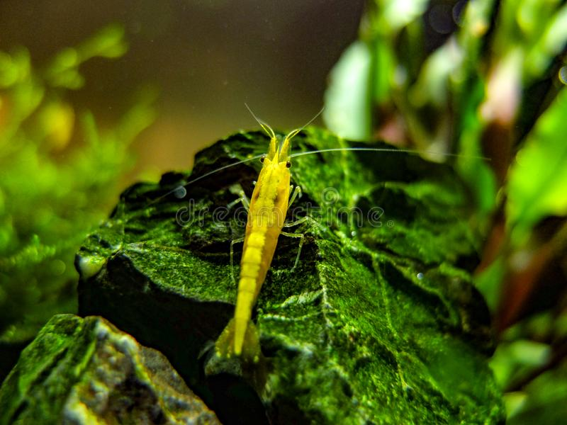 Dwarf Yellow Shrimp on rock in a planted nano tank stock photography