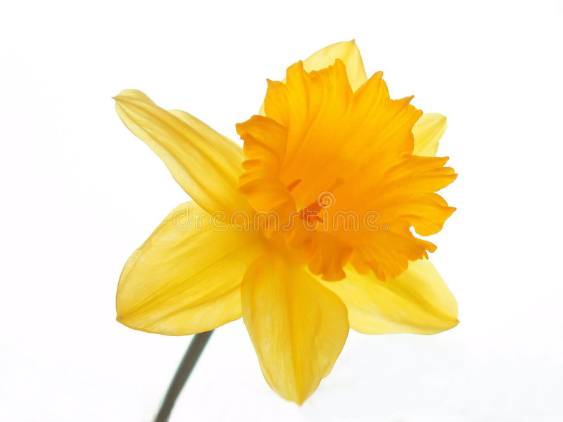 Yellow easter daffodil stock images