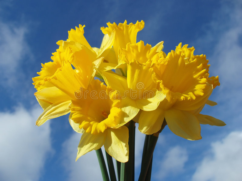 Yellow easter daffodil royalty free stock photos