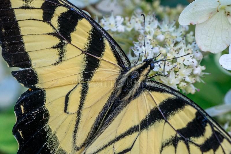 Yellow Eastern Tiger Swallowtail Butterfly royalty free stock photos
