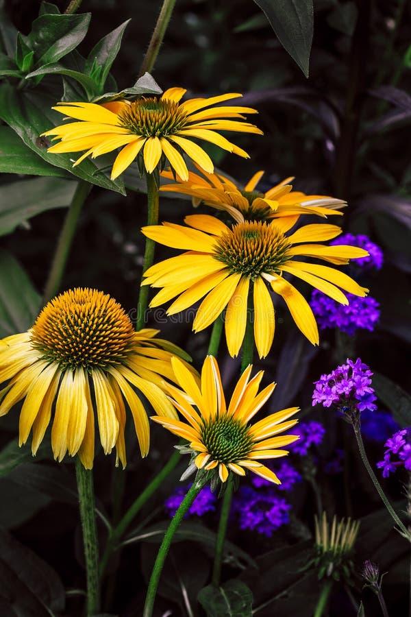 Yellow Echinaceas stock image