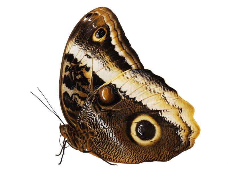 The yellow-edged giant owl butterfly Caligo atreus isolated on white background stock photo