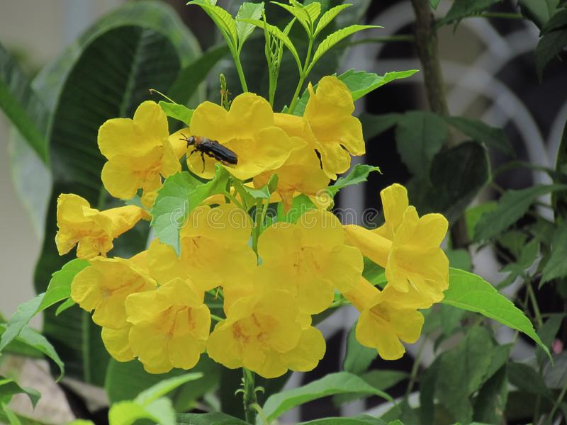 Yellow elder flower, Trumpetbush, Trumpet Flower, Yellow trumpet. Flower, Bright yellow beautiful blooming and insect on tree in the garden royalty free stock photography