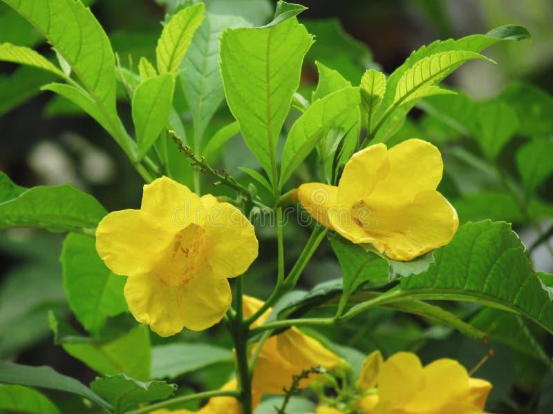 Yellow elder flower, Trumpetbush, Trumpet Flower, Yellow trumpet. Flower, Bright yellow beautiful blooming on tree in the garden stock photos