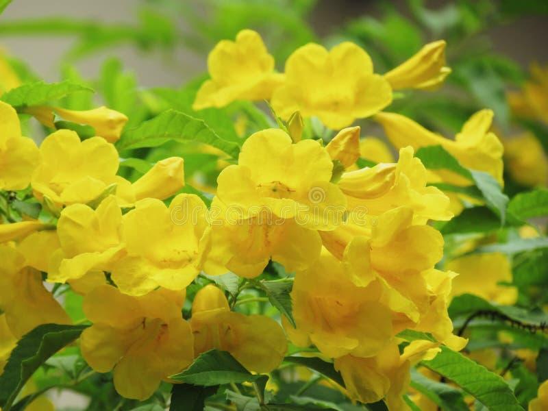 Yellow elder flower, Trumpetbush, Trumpet Flower, Yellow trumpet. Flower, Bright yellow beautiful blooming on tree in the garden stock photography