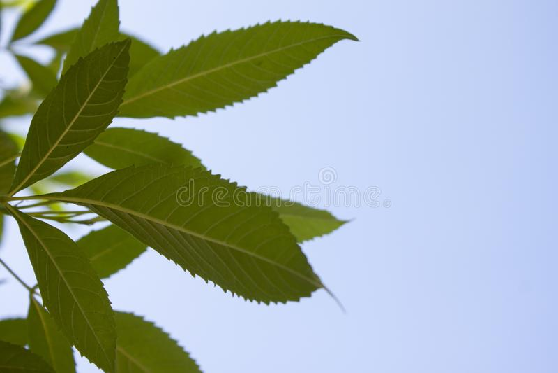 Yellow elder or tecoma stans leaf. Yellow elder or tecoma stans leaf on the blue sky stock images