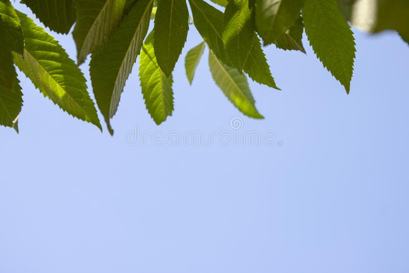 Yellow elder or tecoma stans leaf. Yellow elder or tecoma stans leaf on the blue sky stock photo