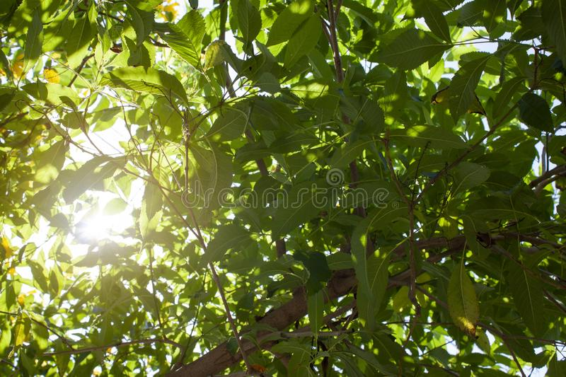 Yellow elder or tecoma stans leaf with sunlight. Yellow elder or tecoma stans leaf with sunlight in the morning stock images