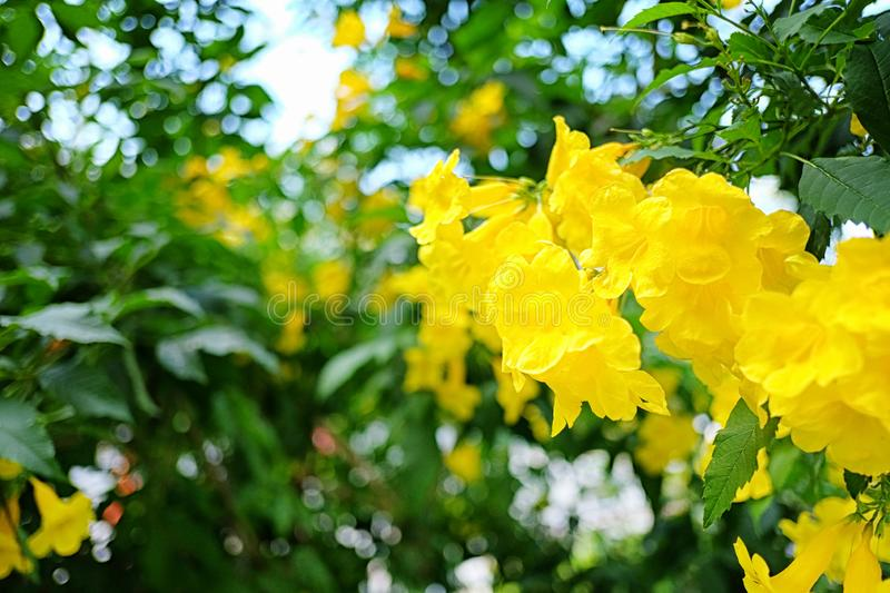 Yellow elder or Yellow Trumpetbush flower of blooming on tree. In the summer garden royalty free stock image