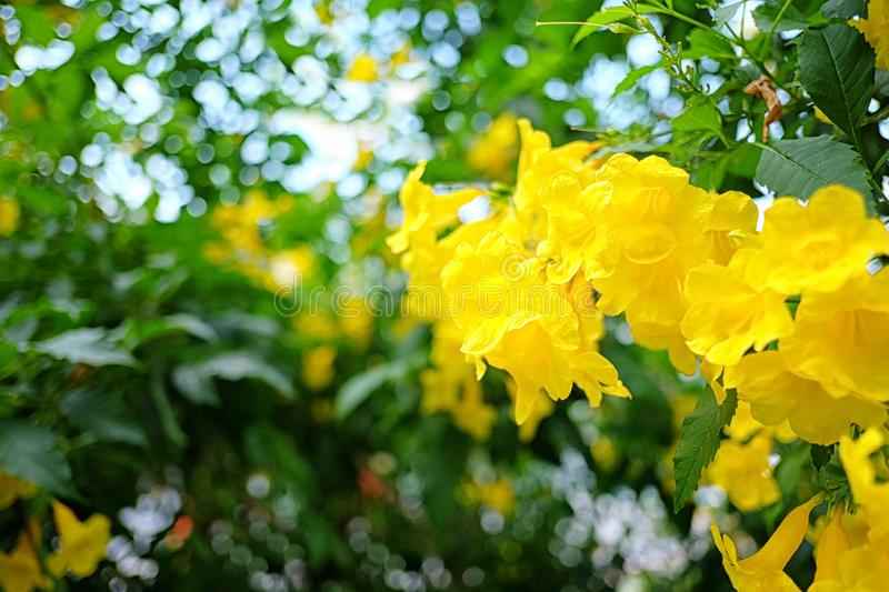 Yellow elder or Yellow Trumpetbush flower of blooming on tree stock photo