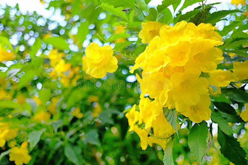 Yellow elder or Yellow Trumpetbush flower of blooming on tree. In the summer garden stock images