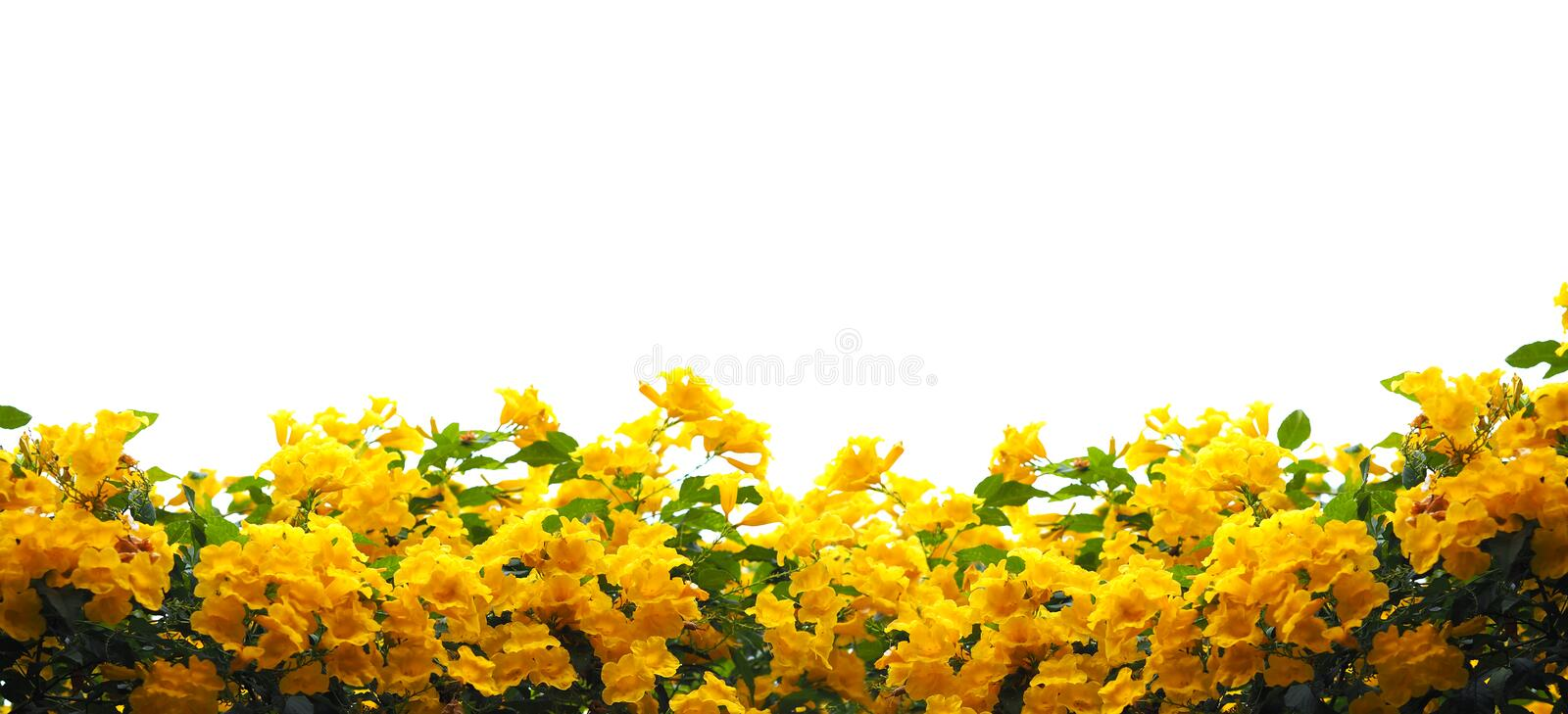 Yellow elder or Trumpetbush flowers. Close up Yellow elder or Trumpetbush flowers and green leaves isolated on white. Banner background with copy space royalty free stock image